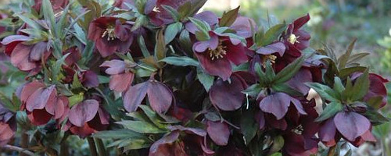 Helleborus – Christmas or Lenten Rose