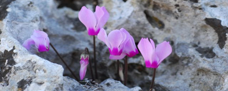 Wild Cyclamens: Delicate Marvels from Nature