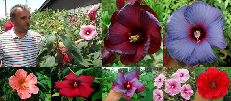 Creating New Flower Colors in Winter-hardy Hibiscus (H. ×moscheutos)