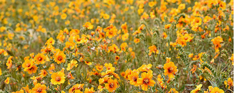"2017 California ""Superbloom"""