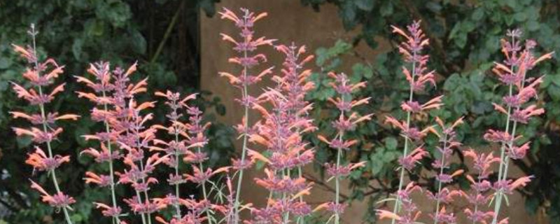 Plant of the Month – Agastacherupestris