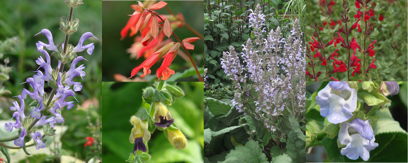 Salvias: A few of my favorites