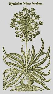 Hyacinthus-stellatus-Peruanus