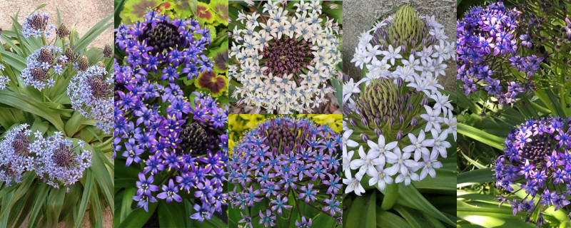 What's in a Name – Scilla peruviana
