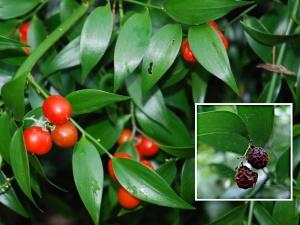 Danae-berries