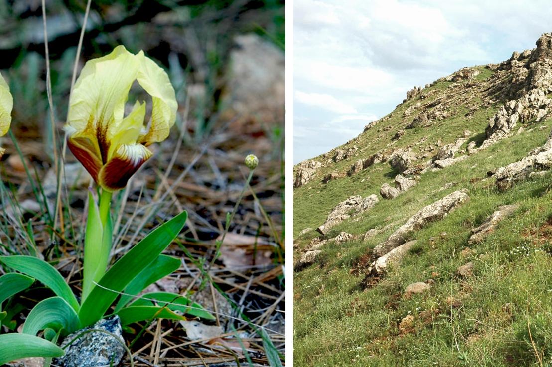 Iris of the Caucasus and EasternMediterranean