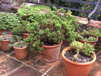 Mallorcan-potted-Pelargoniums